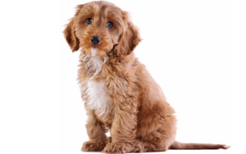file_23218_cockapoo-dog-breed